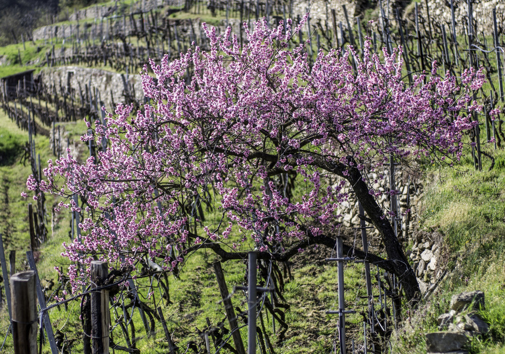 almond blossoms (photo: Alexander Pfeffel - photography.pfeffel.at)